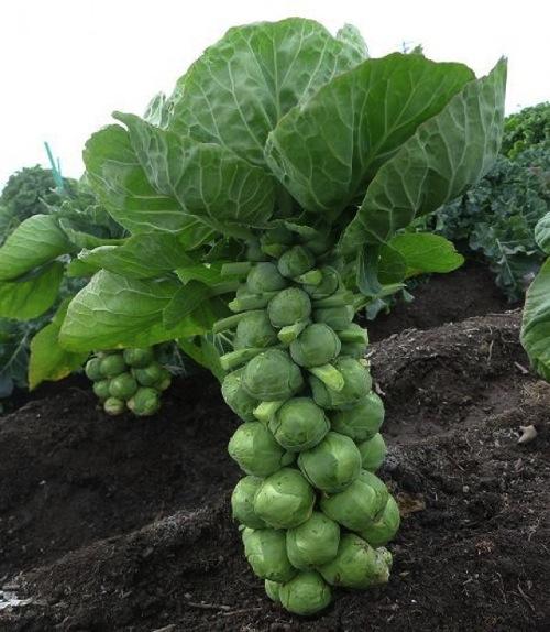 芽キャベツ 栽培 キャベツ 品種